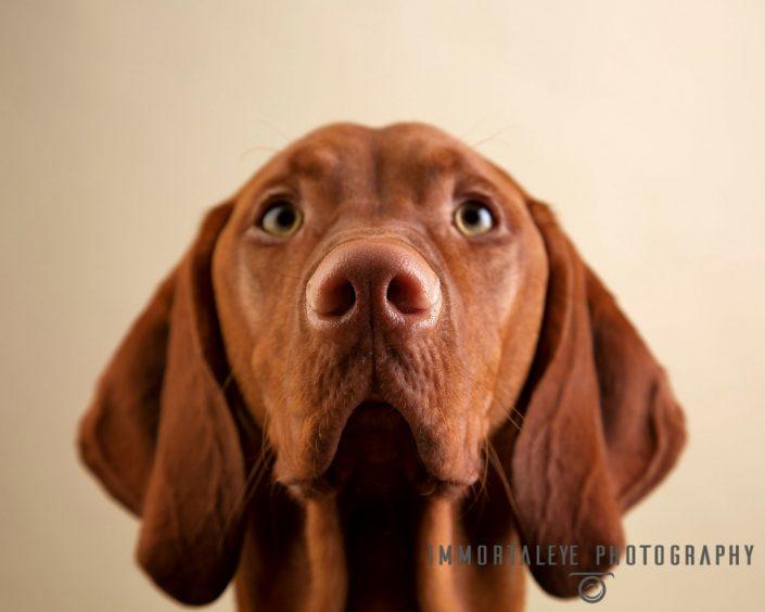 Dog portrait studio photograph of brown dog