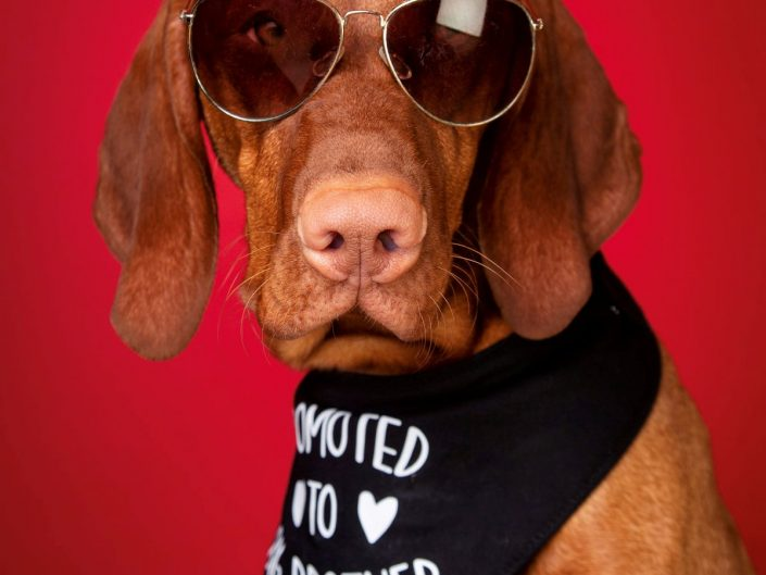 Photo of dog wearing sunglasses against strong red background. Taken at studio in Aylesbury bucks